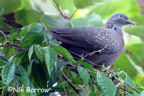 Maroon Pigeon