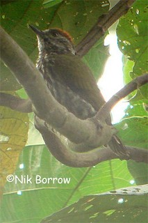 - Gabon Woodpecker