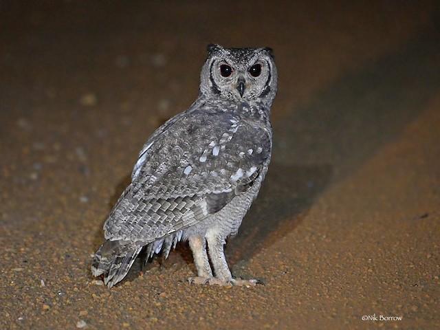 Grayish Eagle-Owl