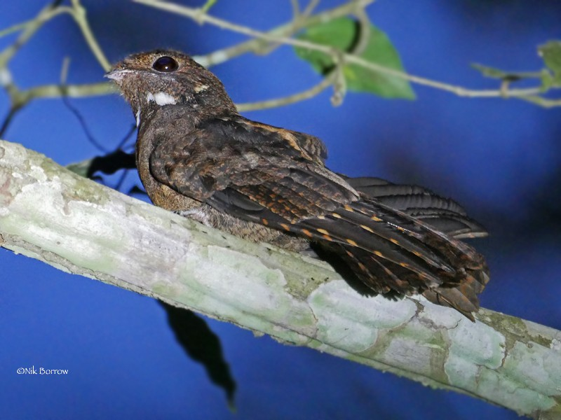 Brown Nightjar - Nik Borrow