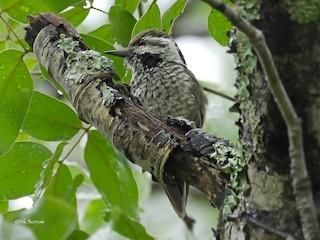 - Stierling's Woodpecker