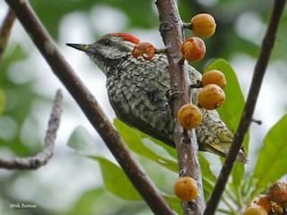- Stierling's Woodpecker