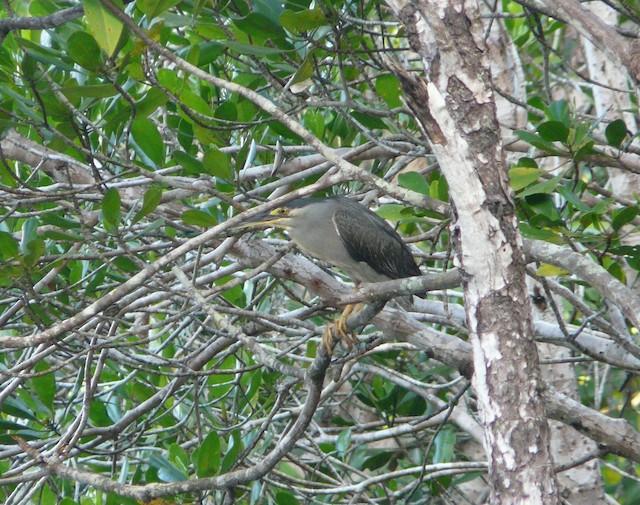 Striated Heron (Old World)