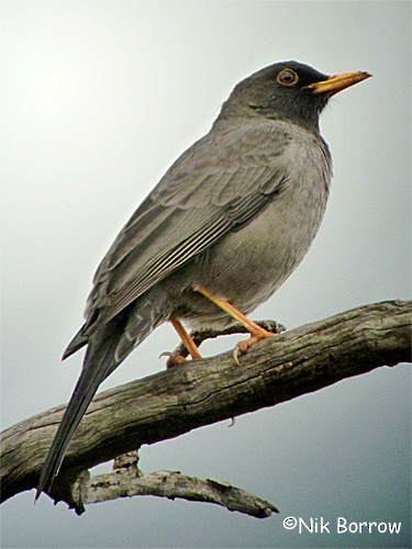 Somali Thrush - eBird