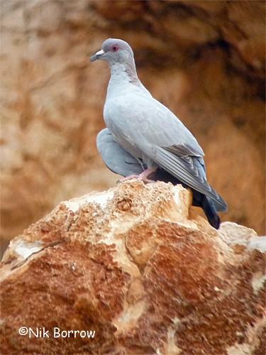 Somali Pigeon