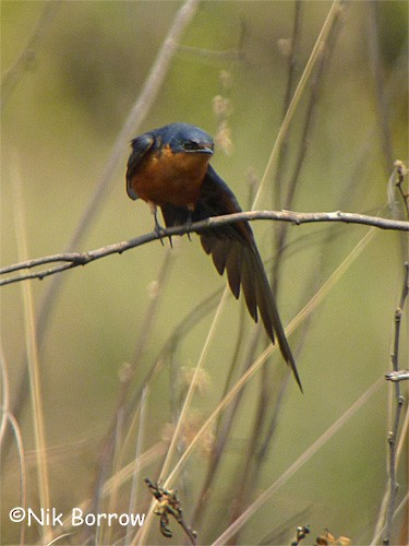 Black-and-rufous Swallow