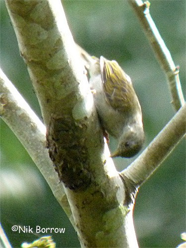 Yellow-footed Honeyguide