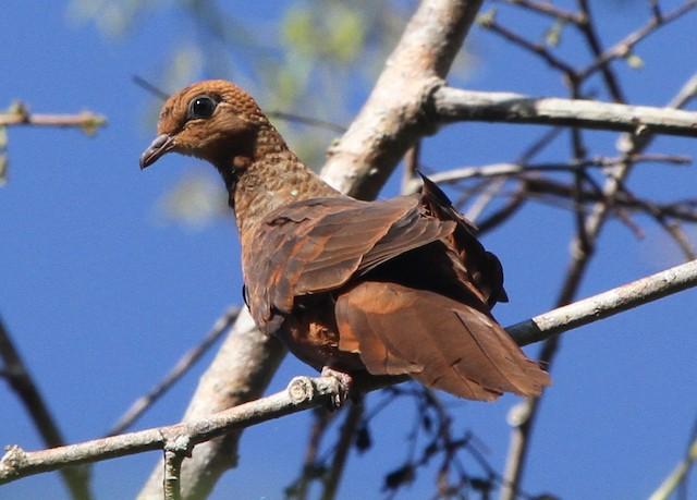Little Cuckoo-Dove