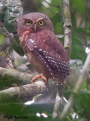 Sjöstedt's Owlet
