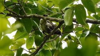 - Rarotonga Starling
