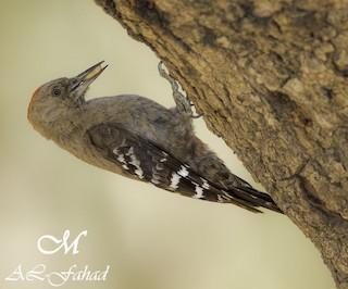 - Arabian Woodpecker