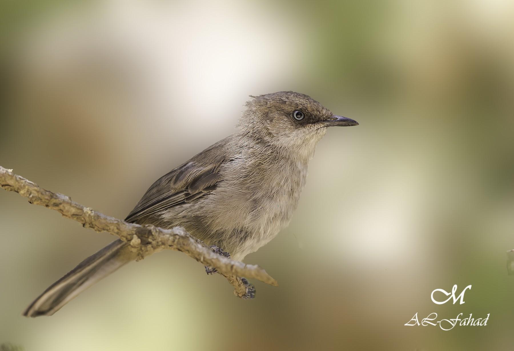Yemen Warbler - Mansur Al -Fahad