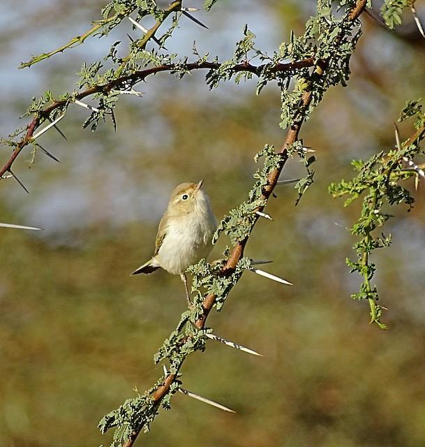 Western Bonelli's Warbler