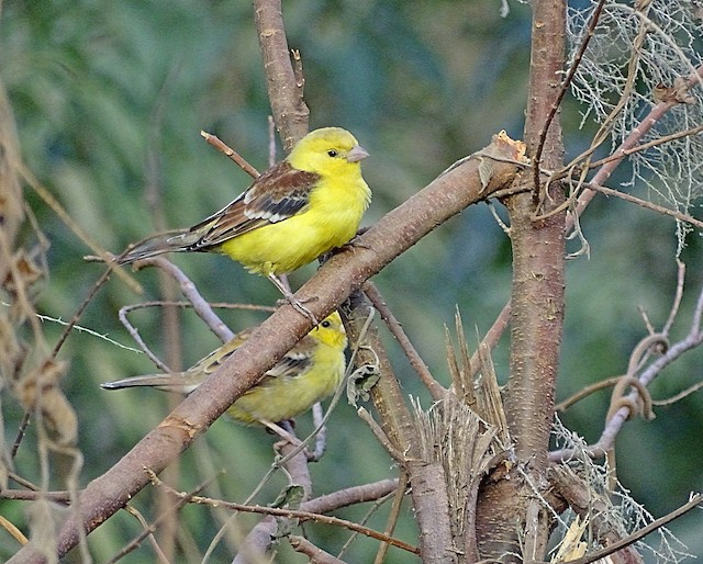 Sudan Golden Sparrow