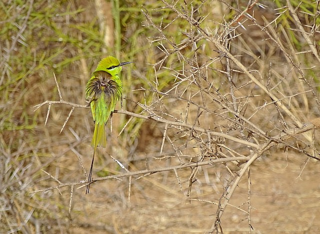 Green Bee-eater (Yellow-throated)