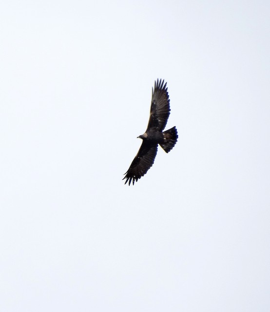 Adult Golden Eagle (China).