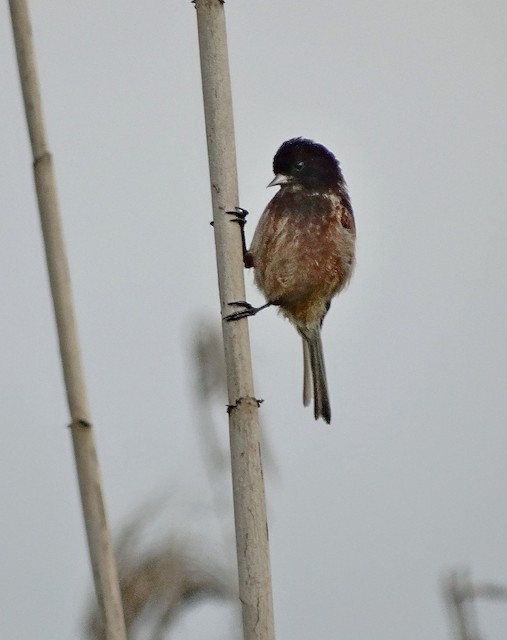 Black-headed Penduline-Tit