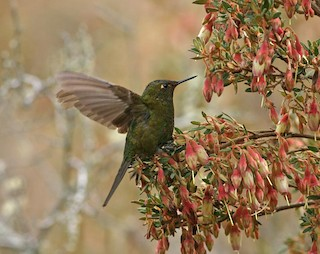 - Fire-throated Metaltail