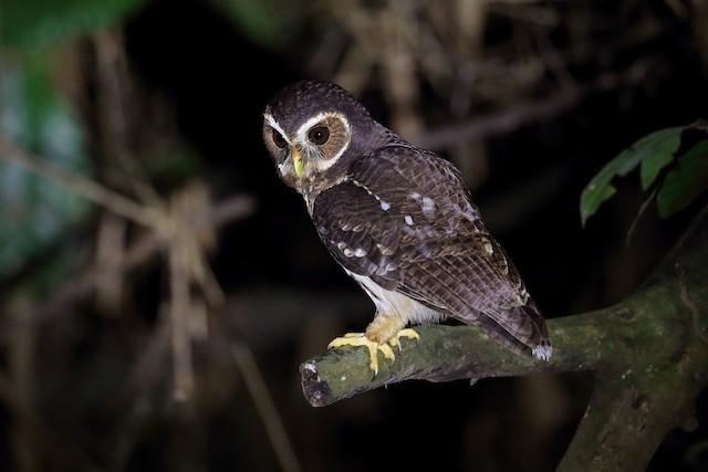 Mottled Owl (Amazonian)