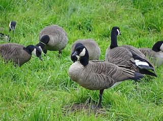 Cackling Goose (Taverner's), ML205515771