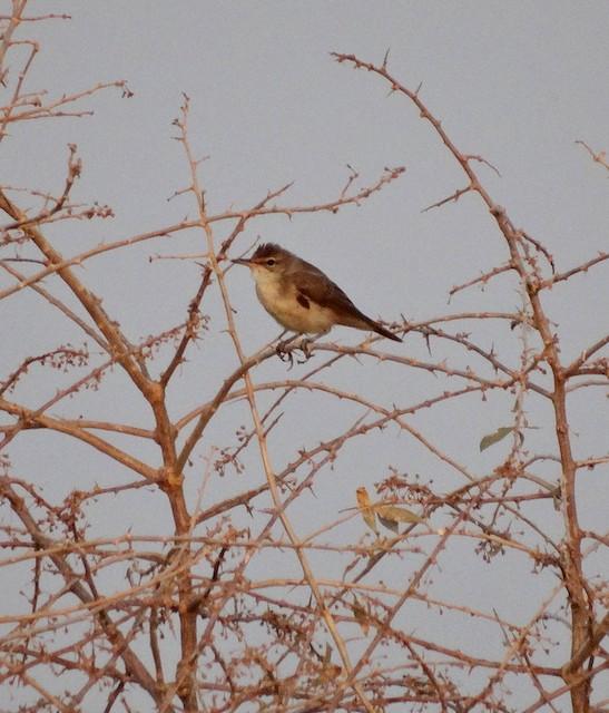 Basra Reed Warbler
