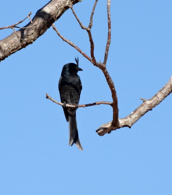 Crested Drongo (Malagasy)