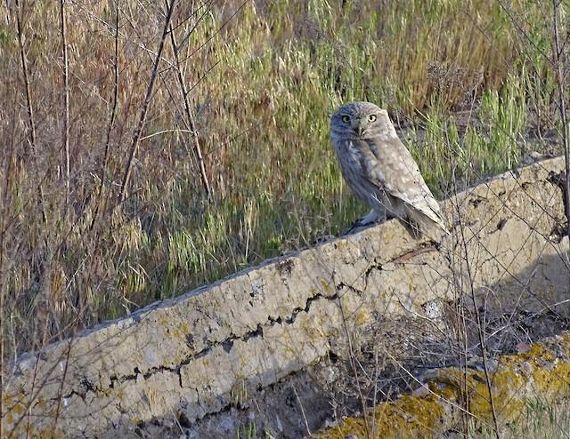 Little Owl (Hutton's)