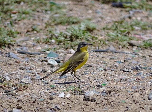 Western Yellow Wagtail (thunbergi)