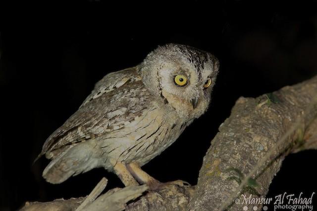 Arabian Scops-Owl