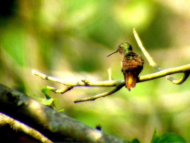 Berylline Hummingbird (Sumichrast's)