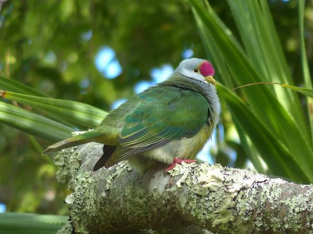 Henderson Island Fruit-Dove