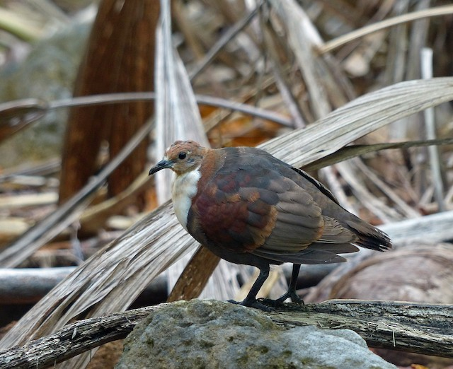 Polynesian Ground Dove