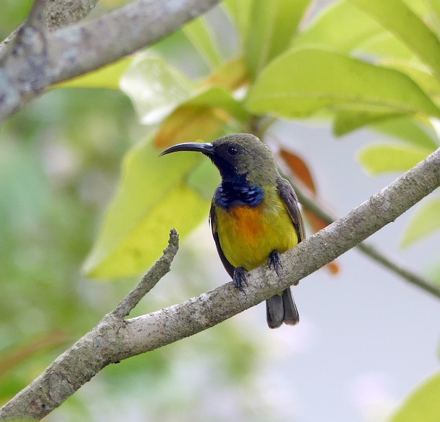 Apricot-breasted Sunbird