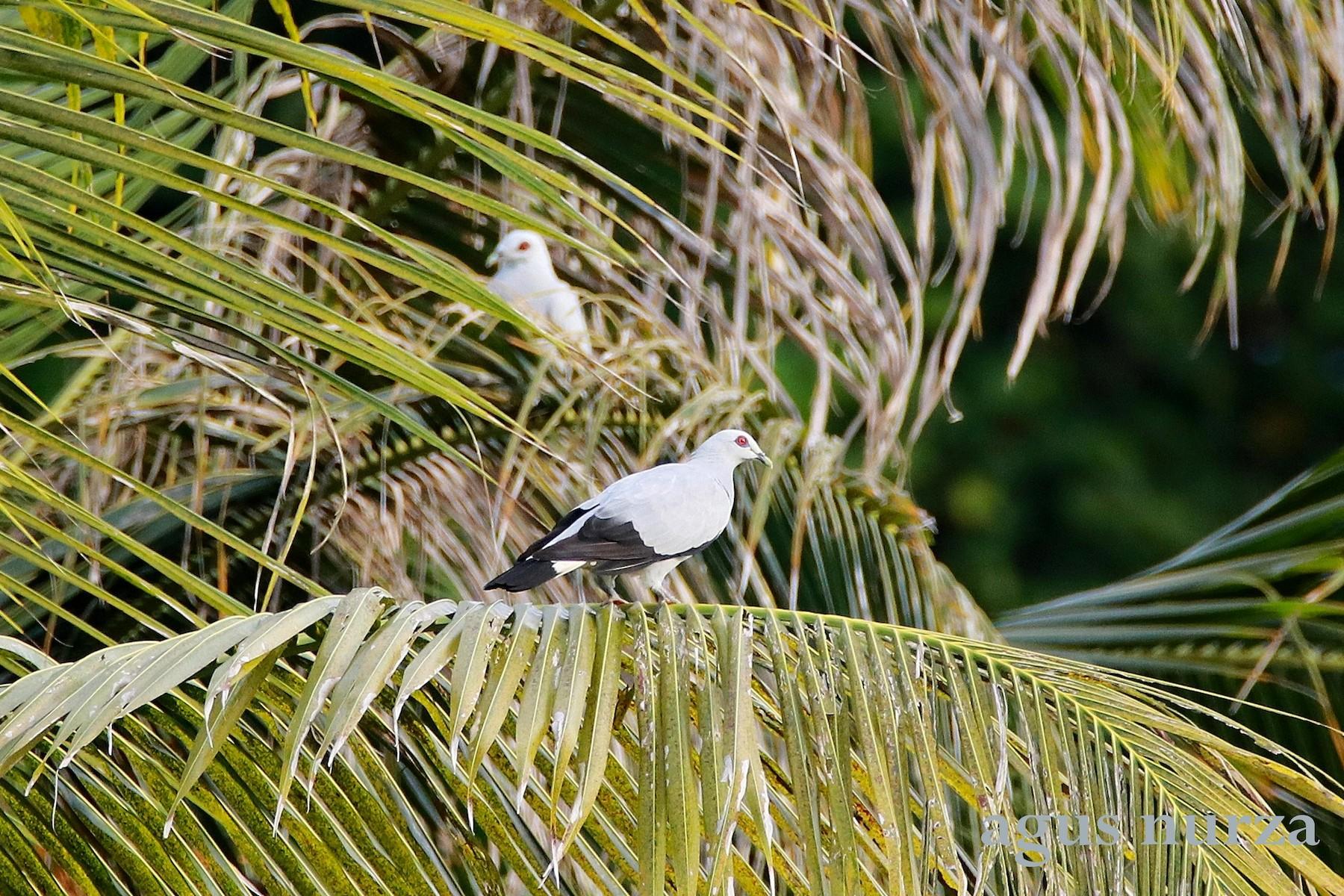 Silvery Wood-Pigeon - Agus Nurza