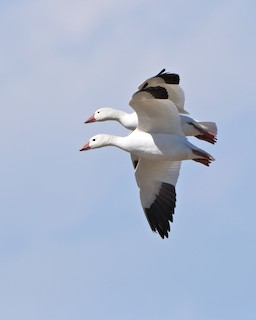 Snow Goose, ML205572851