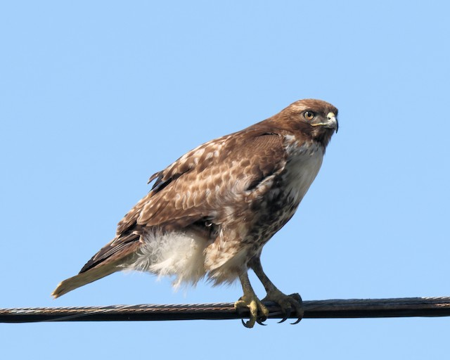 Red-tailed Hawk (calurus/alascensis)