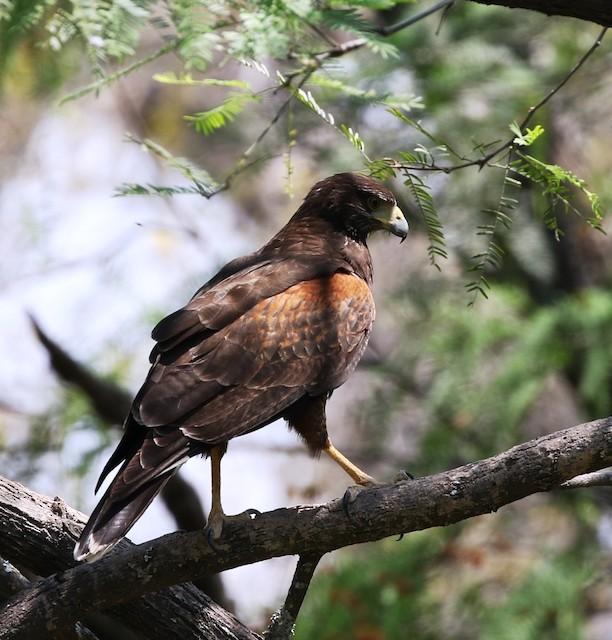 Harris's Hawk (Bay-winged)