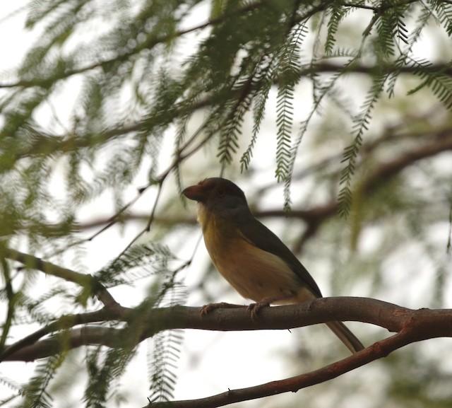 Rufous-browed Peppershrike (Chaco)