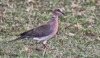 Island Collared-Dove