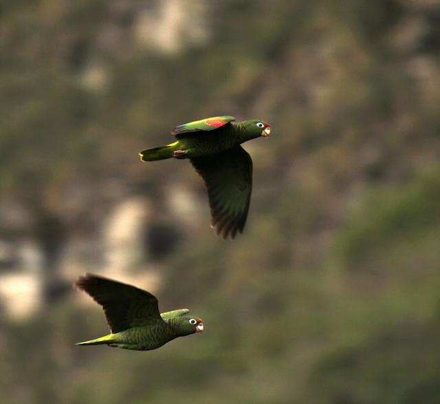 Tucuman Parrot