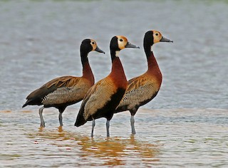 White-faced Whistling-Duck, ML205652761