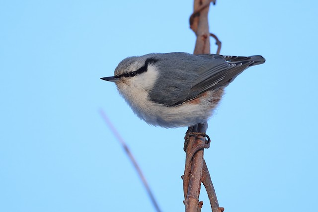 Eurasian Nuthatch (White-bellied)