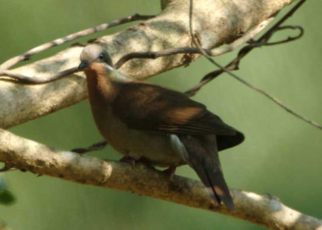 White-eared Brown-Dove (White-eared)