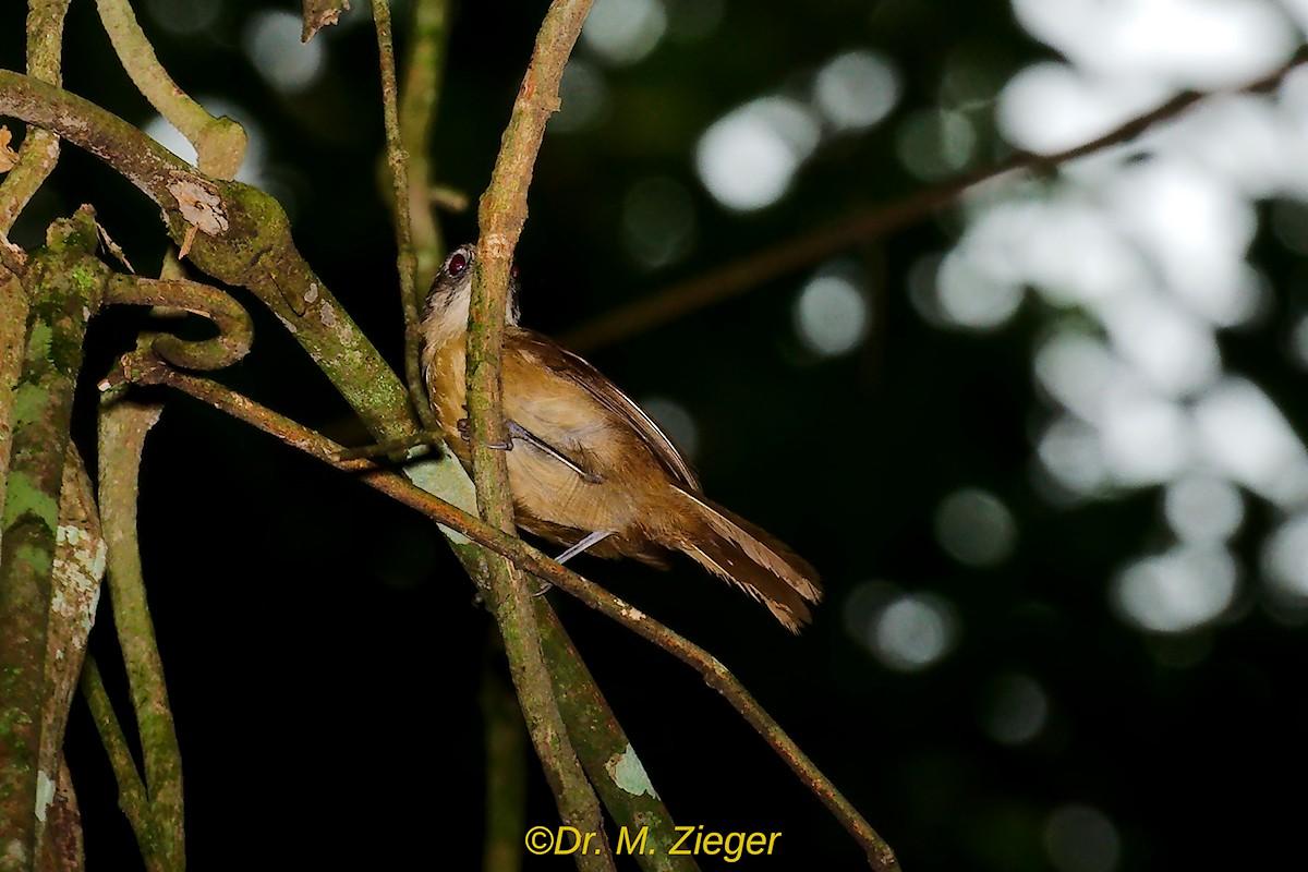 Brown Illadopsis - Zieger Michael
