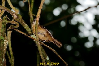 - Brown Illadopsis