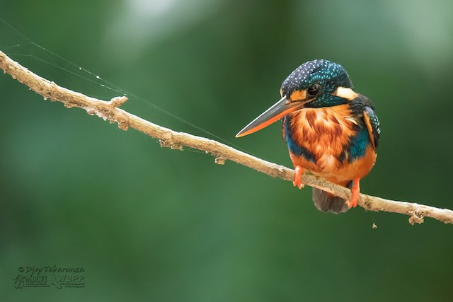 Indigo-banded Kingfisher (Northern)