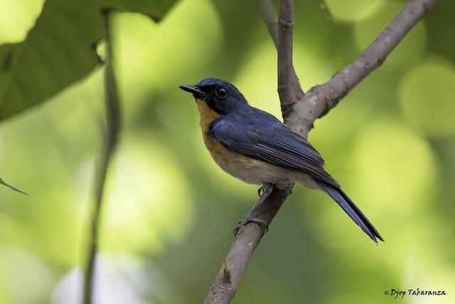 Mangrove Blue Flycatcher (Philippine)