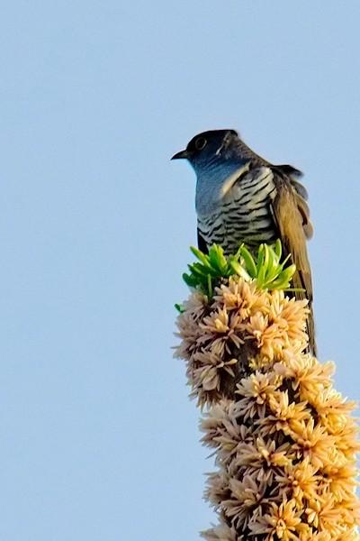 Madagascar Cuckoo