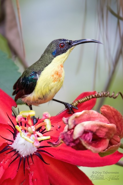 Mountain Sunbird