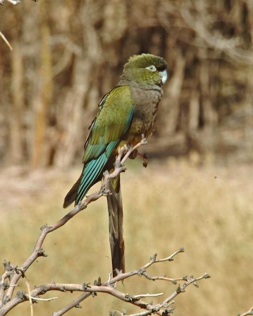 Burrowing Parakeet (Olive)